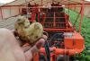 Vroege aardappel seizoen van start